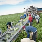 Farmworkers pick lettuce in Yuma. Photo by Michel Duarte/Cronkite Borderlands Initiative.