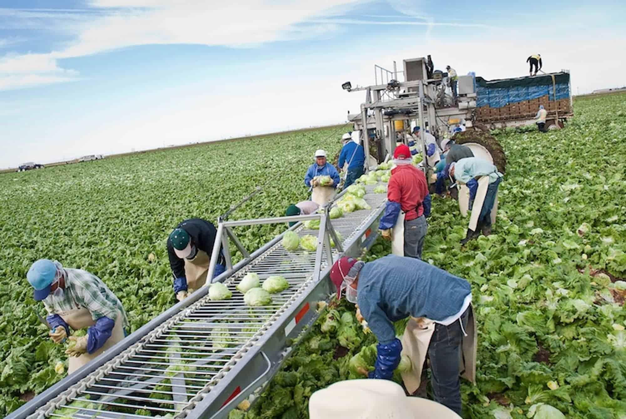 Farmworkers pick lettuce in Yuma. Photo by Michel Duarte/Cronkite Borderlands Initiative.