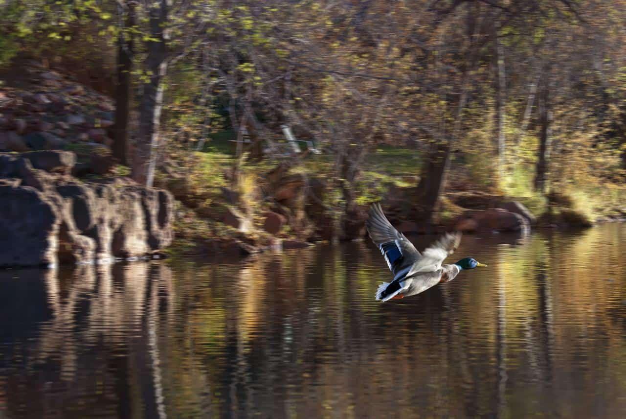 A mallard takes flight. Photo by Michael Wilson/Flickr.