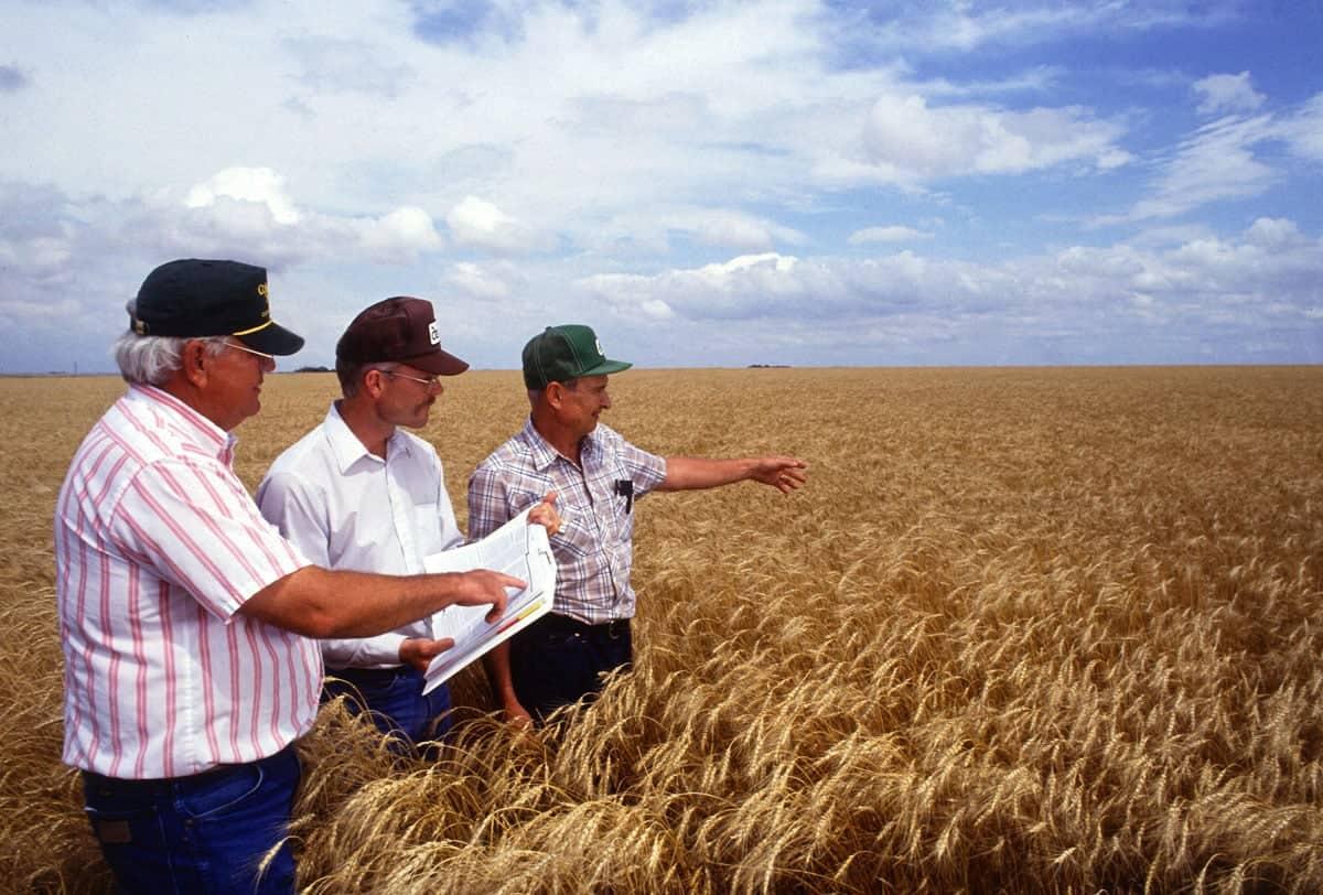 wheat_corn