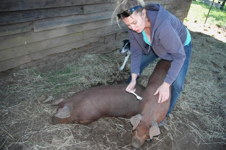 Megan Brown, California, lightly pokes her pigs on the back to help stimulate their appetites.