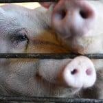 Pigs24