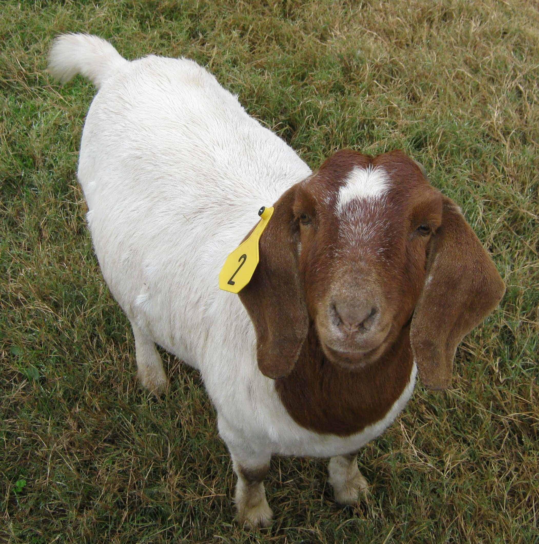 snowden_goat