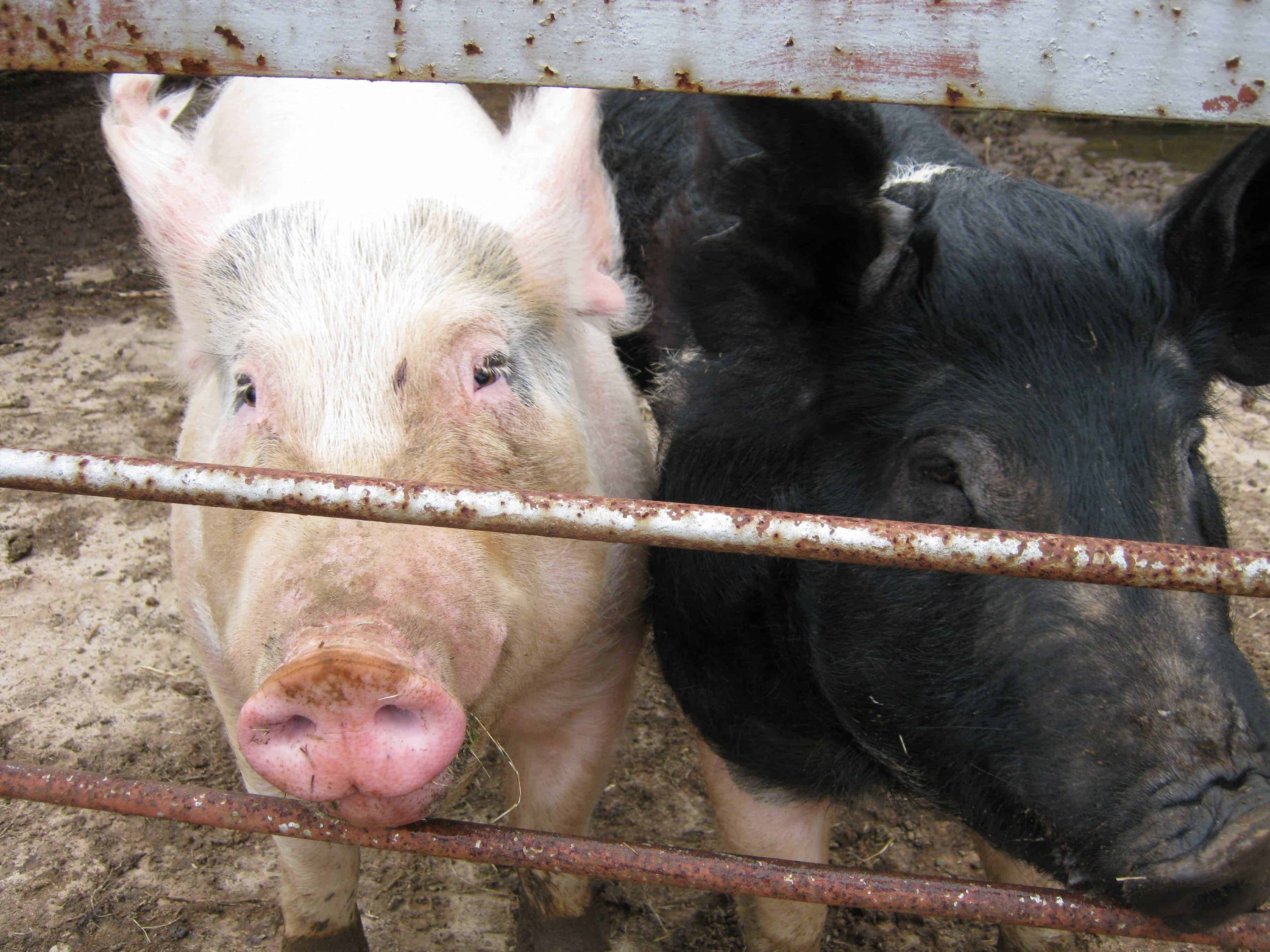 snowden_pigs