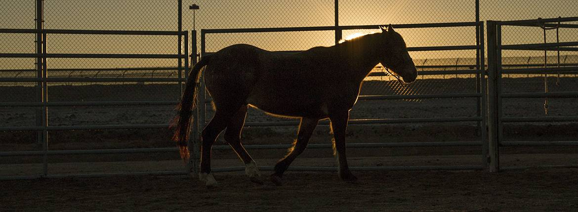 Starting at the crack of dawn, inmates handle horses at a state prison in Florence. Photo by Blake Hemmel/Cronkite News