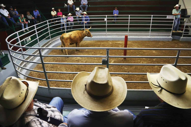 Cattle for sale at the La Junta Livestock in southwestern Colorado. Photo by Brooke Warren