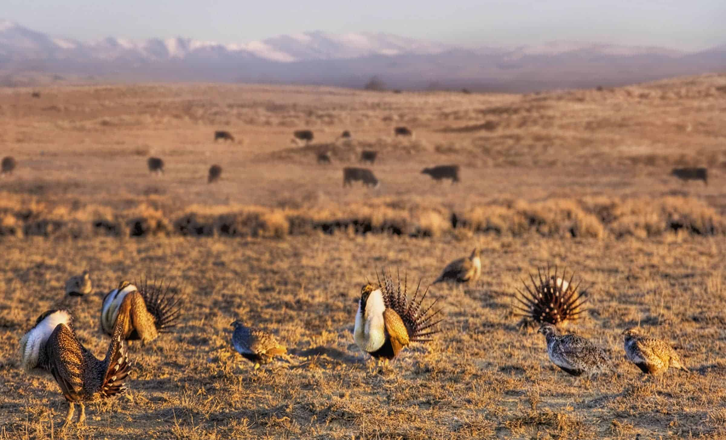 greater_sage_grouse