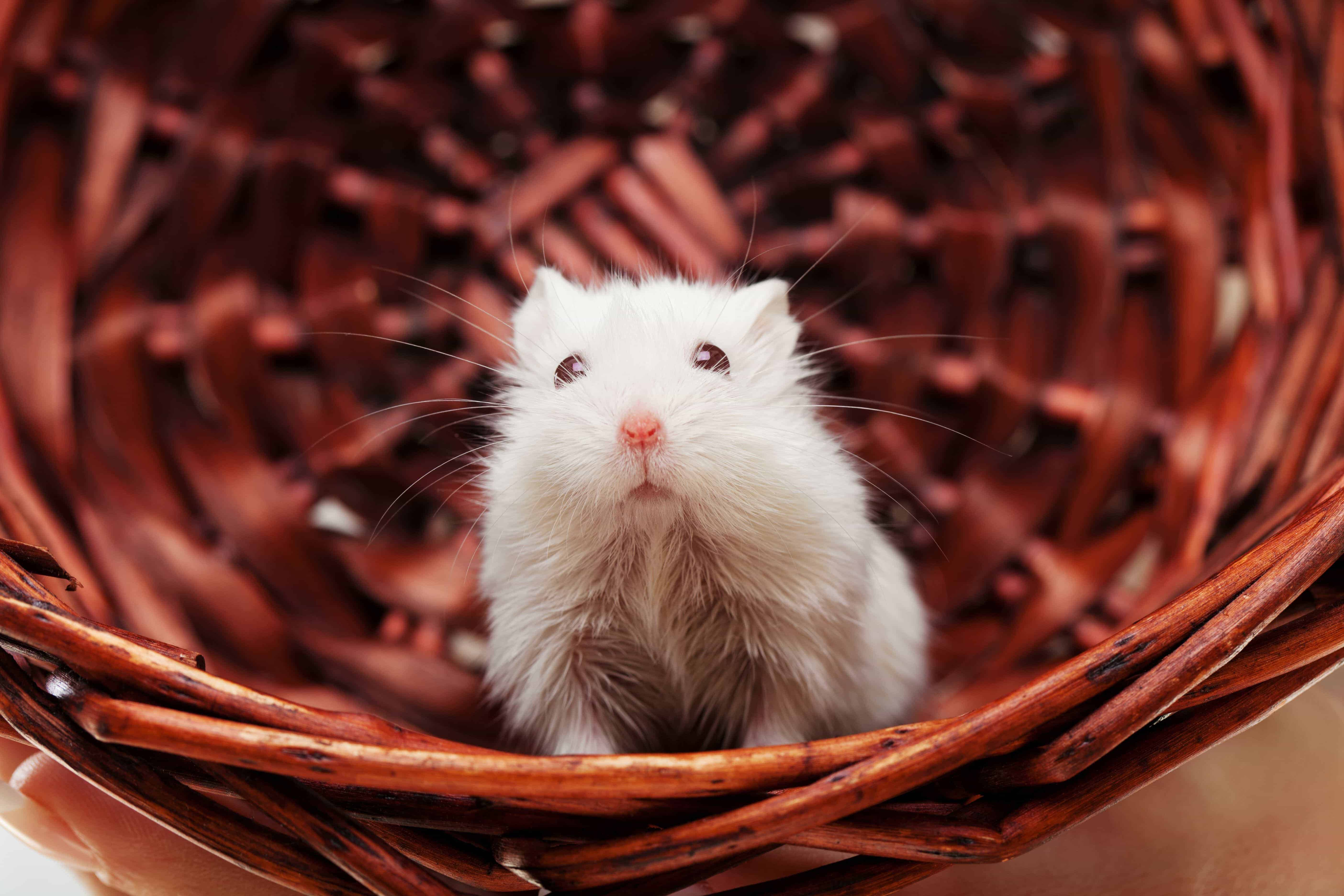 white-mouse-in-basket-185282860-57ffde793df78cbc28942823