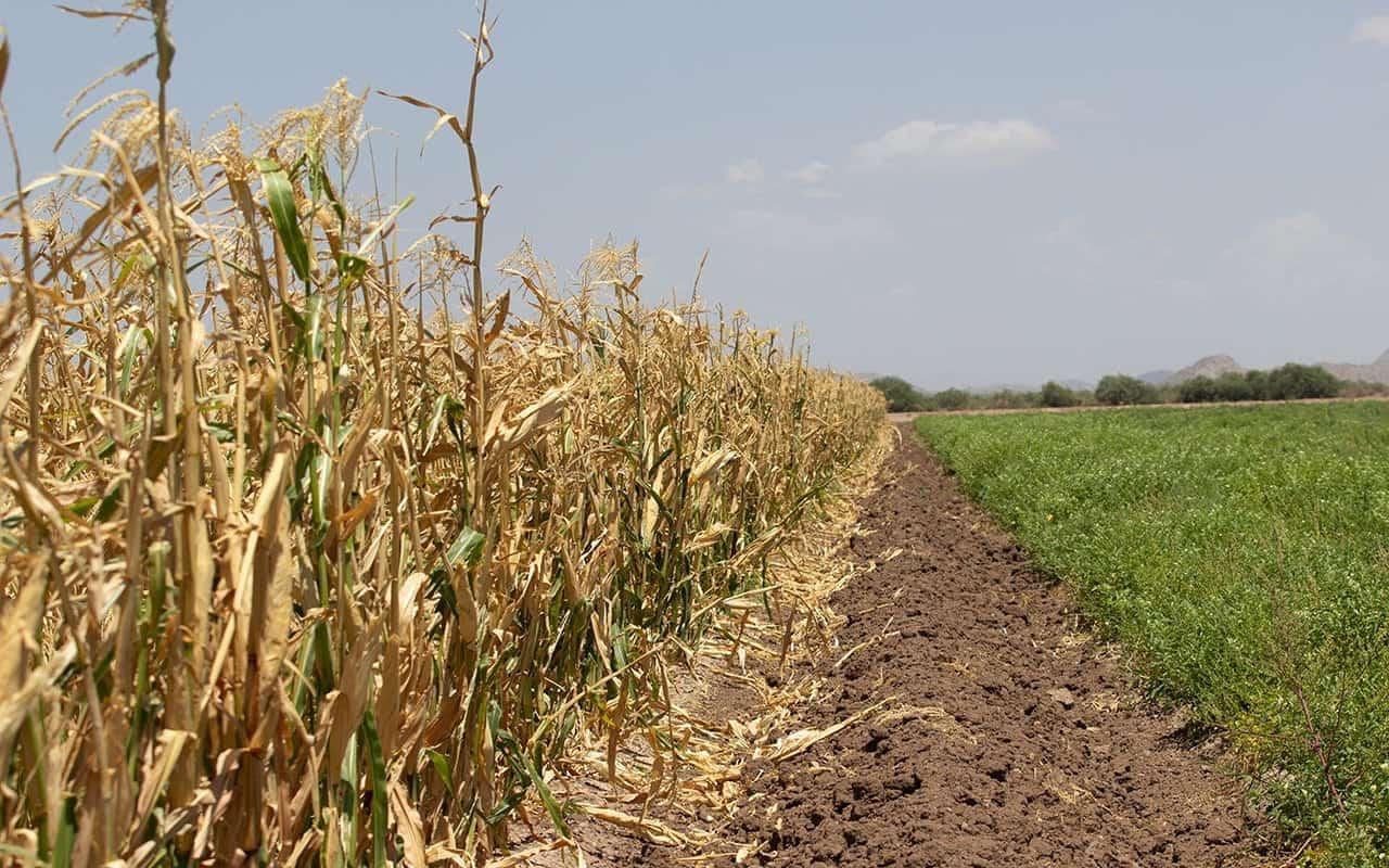 Corn_1280