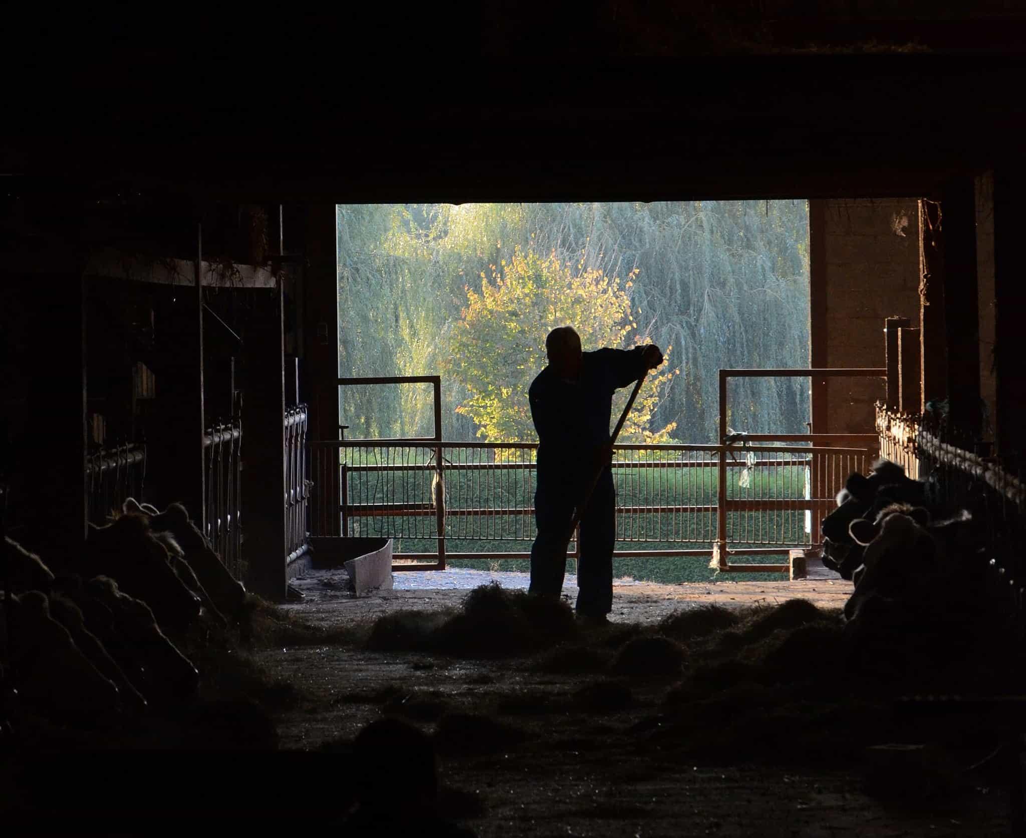's_silhouette,_feeding_cattle