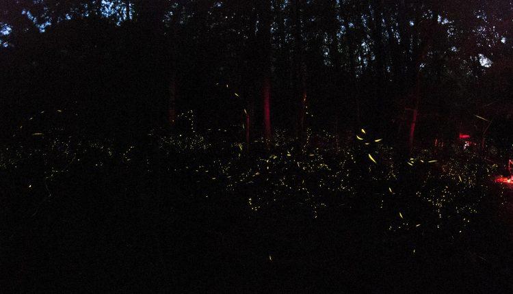 Great_Smoky_Mountain_Fireflies_-_panoramio