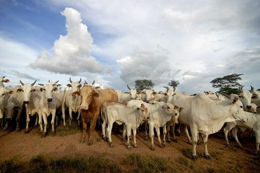 beef_cows.JPG