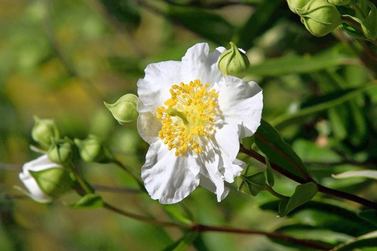 califwildflower530.jpg