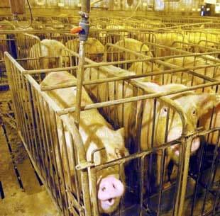 crowded-pigs.jpg