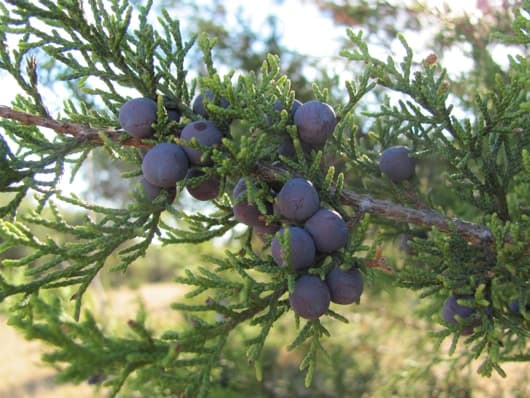 juniperberries530.jpg