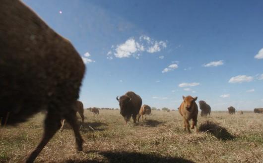 kansas-baby-buffalo530.jpg