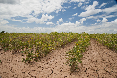 Drought Affect on soybeans in Texas