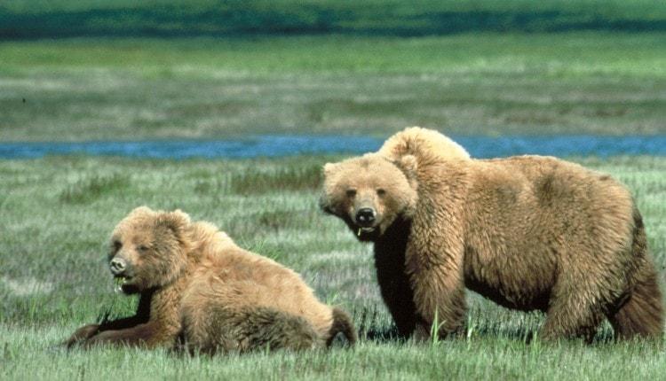 grizzly-bears-glacier-national-park-montana