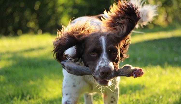 Springer Spaniel Pet Dog Training Dog Leg Hunting