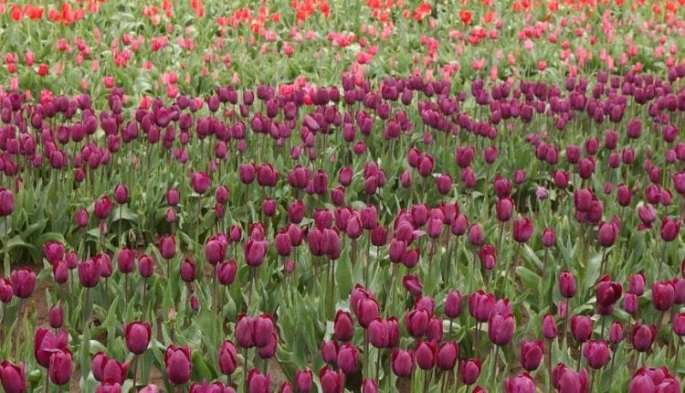 oregon tulips